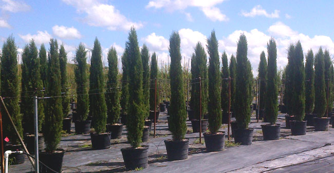 Italian Cypress Chatham Nurseries